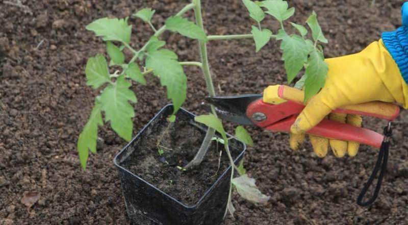как сажать помидоры в грунт рассадой